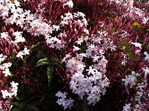 Pink Jasmine Vine - 9EzTropical - Jasminum polyanthum - Pink Jasmine - 2 Feet Tall - Ship in 1 Gal Pot