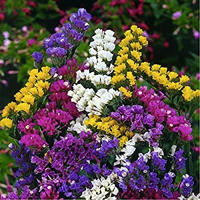 Statice/Sea Lavender 'Pacific' (Limonium Sinuatum (L.) Flower Plant seeds, Annual Heirloom : Garden & Outdoor