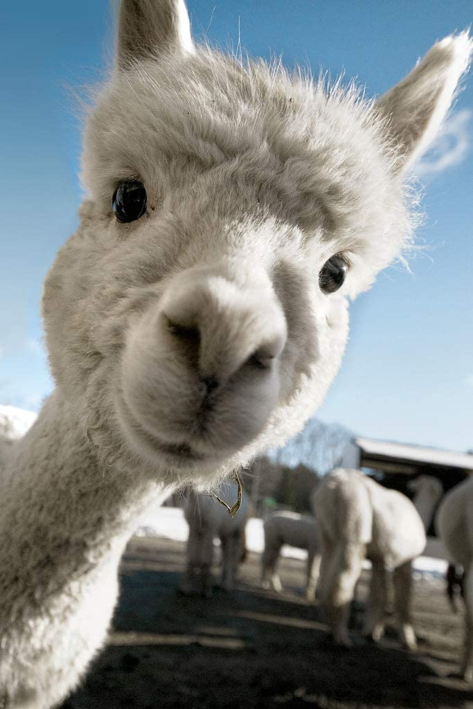 Alpaca Face Cute Baby Close Up View Black and White Animal Photography Face Cute Funny Llama Photo Picture Zoo Adorable Cool Wall Decor Art Print Poster 12x18
