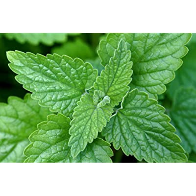 Asklepios-seeds - 10.000 Organic Catnip seeds - your Cat will love it and go crazy - Nepeta cataria, catswort catmint: Pet Supplies