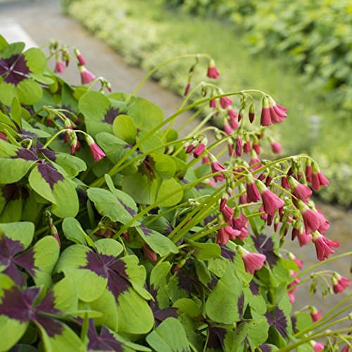 25 Oxalis Iron Cross Bulbs - Great in containers, Shamrocks for Indoors or Out!