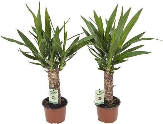 Plantas de interior – 2 × Palmera Yucca – Altura: 40 cm: Amazon.es: Jardín
