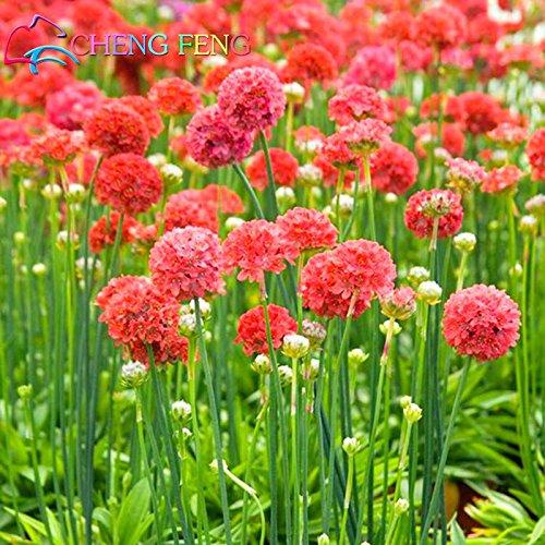 100 PC-Seegras-Samen eine Menge Wctch Rose Bonsai Blumensamen Seltene Birnen Blumen Sementes Für Hausgarten Schöne Jardin Pflanzen