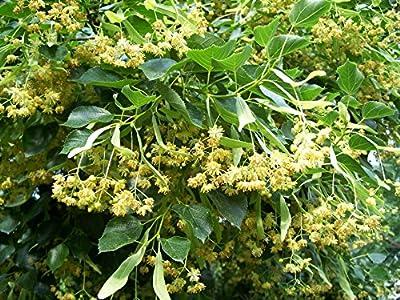 American Linden Tree Seeds (Tilia americana) 2+ Fresh, Organic Basswood Tree Seeds harvested in 2017