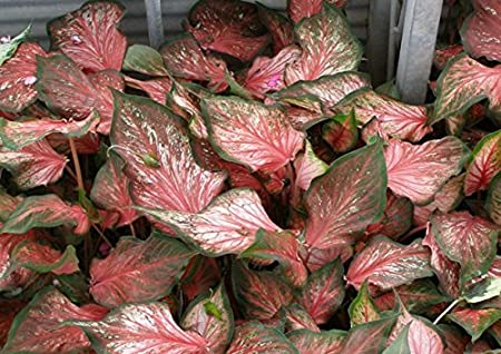 Amazon Com Caladium Strap Leaf Pink Gem 6 Bulbs Thrives In