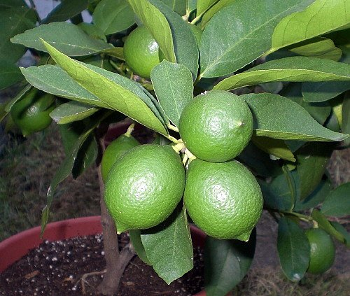 Persian Lime Tree - Fruit Bearing Size -8'' Pot-NO Ship to TX, FL, AZ, CA, LA, HI by Hirt's Gardens (Image #2)