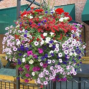 Colgando Semillas Semillas Petunia balcón en maceta que se arrastra flor de la petunia Petunia multicolores 200 PC