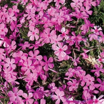 Classy Groundcovers - Phlox 'Drummond's Pink' Creeping Phlox, Moss Phlox {25 Pots - 3 1/2 in.} by Classy Groundcovers (Image #5)