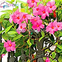 On Sale!!!Rainbow Mandevilla Seeds Beautiful Flower Seeds The Budding Rate 95% Garden Plant For Kids Gift