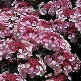 1 Hydrangea Serrata Twirligig Live Plant 4 Inch Pot