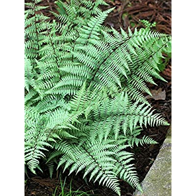 Perennial Farm Marketplace Athyrium nipponicum VAR. pictum (Ghost) Hardy Fern, Size-#1 Container, Gray Green Foliage : Garden & Outdoor