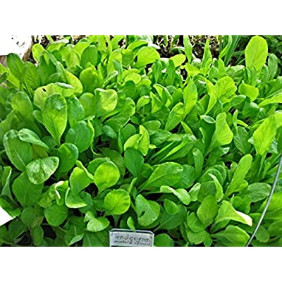 mustard spinach, TENDERGREEN, salad greens, 940 seeds! GroCo : Garden & Outdoor