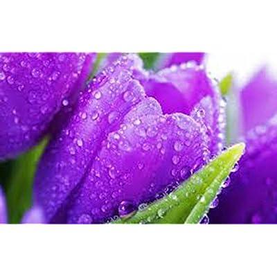 HUAN RU Bulb, Tulip, Purple Prince, 20 Pack, Pure Purple Perennial Tulip Bulbs, Purple Flowers: Garden & Outdoor