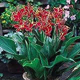 """Canna indica - Indisches Blumenrohr """" LUCIFER RED """" 1 Rhizom"""