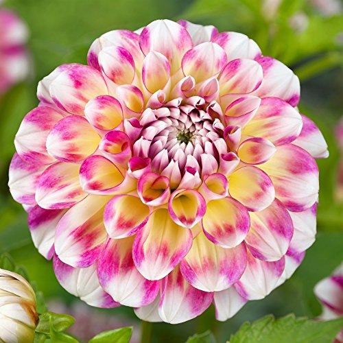 Purple, White, Yellow, and Pink Dahlia Hawaii (3 Large Bulbs) Huge Blooms | Ships from Easy to Grow TM