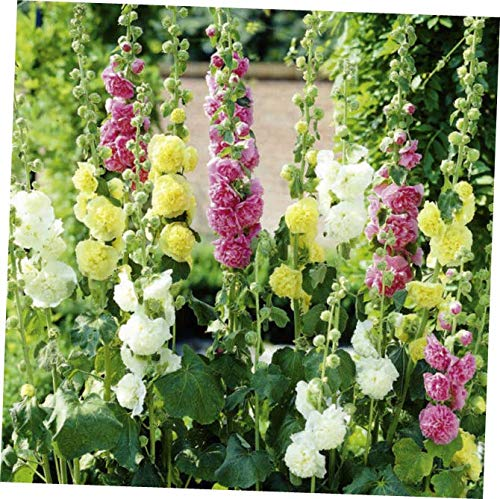 QIO Plants 1 Hollyhock Alcea rosea Mixed Pastel