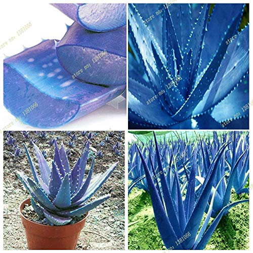 New 2016 new blue aloe seeds, rare courtyard balcony potted plants, herbs, easily grown plants 50 PCS/bag