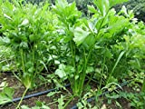 Celery, Tall Utah 52-70R Improved Seeds, The Tastiest Celery Variety Ever (2 Pounds or 3.2 Million Seeds)