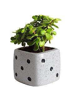 Rolling Nature Good Luck Jade Plant in White Dice Ceramic Pot