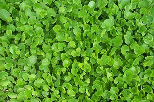 "1 Gotu Kola Live Plants 4-16"" TALL Non-GMO Organic in 4"" ..."