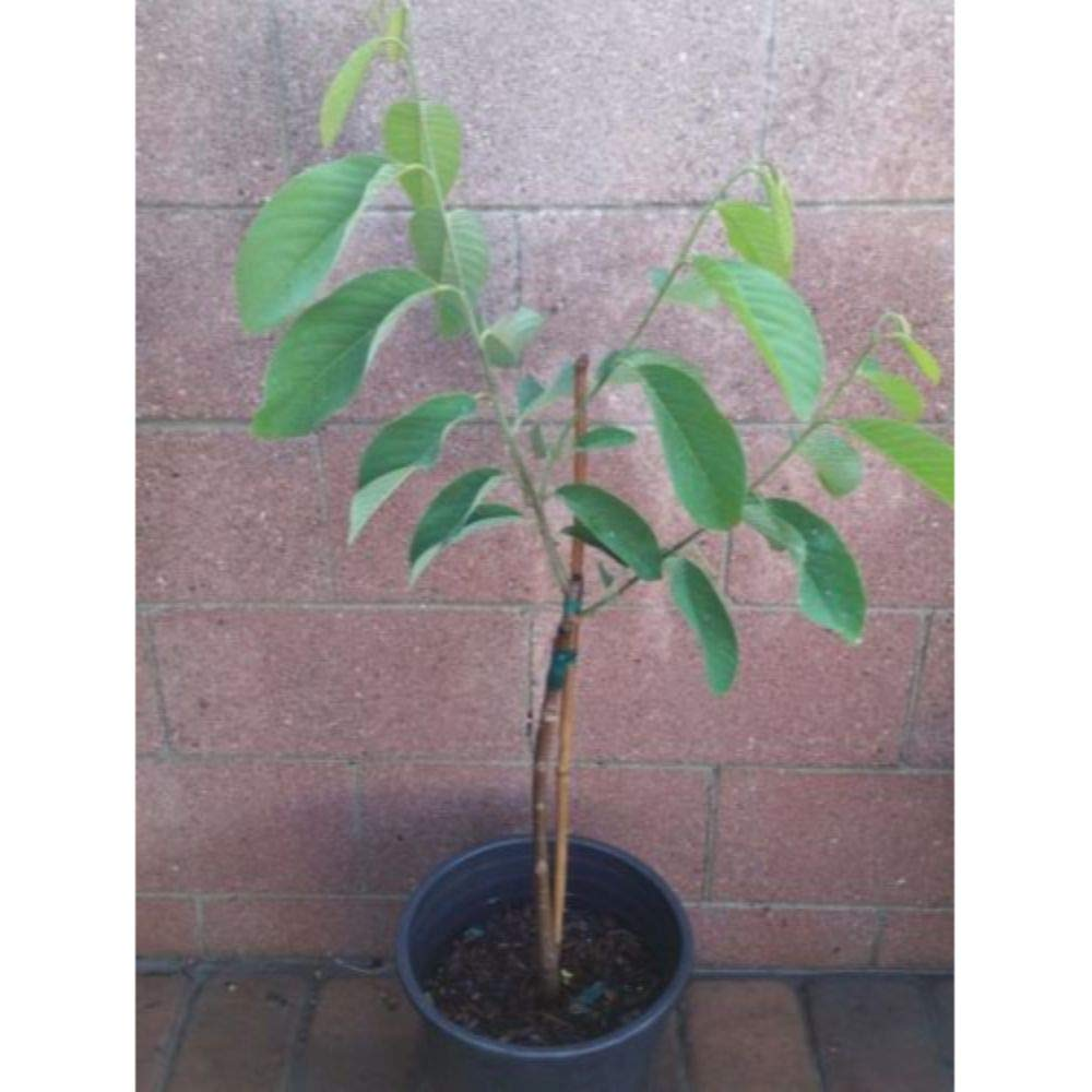 Atemoya Tropical Fruit Trees 36'' Height in 3 Gallon Pot #BS1 by iniloplant (Image #3)