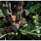 Maulbeerenbaum Kagayanae LH 60 - 100 cm, Maulbeeren schwarz, Busch, im Topf, Obstbaum winterhart, Morbus nigra
