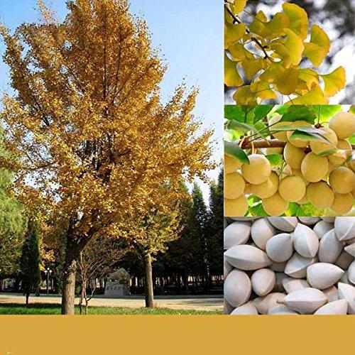 KINGDUO 5 Pcs/Pack Ginkgo Biloba Graines Rares Maidenhair Tree Seed Strong Adaptabilité Jardin Arbre Fruitier