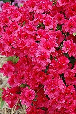 (1 Gallon) 'Hershey's Red' AZALEA, Abundance of Stunning Red Blooms, Evergreen Shrub, Cold Hardy,Shipped in gallon pot-12-20 inches tall, (Hydrangeas, Viburnums, Japanese Maples, Dogwood Trees, Crape Myrtles, Gardenia)