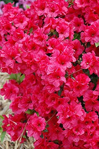 Amazon 1 gallon hersheys red azalea abundance of image unavailable mightylinksfo