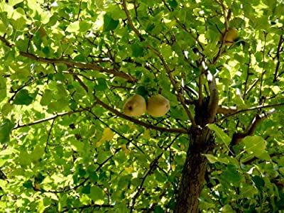 Ayers Pear Tree, Healthy 3'- 4' Fruit Trees, 1- each