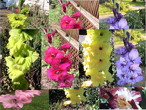 15 Mixed Gladiolus Seeds Raspberry, Purple, Green, Yellow, Pink, & White Fresh