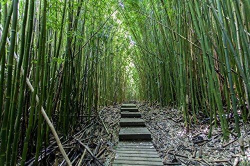 Thick bamboo forest, Pipiwai hiking trail, Haleakala National Park, Kipahulu, Maui, Hawaii print picture photo photograph fine art (Pipiwai Trail)