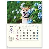 新日本カレンダー 2019年 柴犬まるとおさんぽ カレンダー 壁掛け NK35 (2019年 1月始まり)