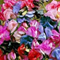 50+ Lathyrus Most Fragrant Mix Sweet Pea Flower Seeds / Reseeding Annual