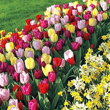Amazon Com Wayside Gardens Tulip Tutti Fruitti Blend Pack