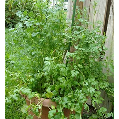 Cilantro Herb LEISURE CILANTRO Coriander 1500 SEEDS Split Seed High Yields : Garden & Outdoor