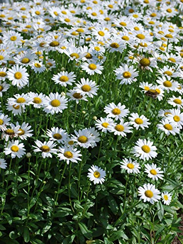 (Perennial Farm Marketplace Leucanthemum x 'Becky' ((Shasta Daisy) Perennial, Size-#1 Container', White Flowers)