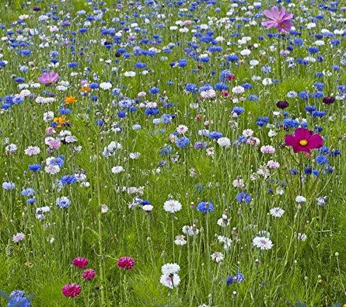 Cosmo 2 pacchetti di semi fiordaliso un insieme di semi di due specie di fiori