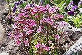 10 ROSE ROBE SAXIFRAGA Saxifraga Arendsii Mossy Rockfoil Evergreen Flower Seeds