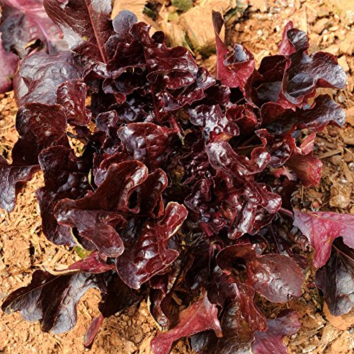 - Leaf Lettuce Garden Seeds - Salad Bowl Red - 1 Lb - Non-GMO, Heirloom Vegetable Gardening & Salad Microgreens Seed