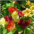 Seed Needs Bulk Package of 350 Seeds, Jewel Mix Nasturtium (Tropaeolum nanum) Non-GMO Seeds