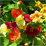 Seed Needs Bulk Package of 350 Seeds, Jewel Mix Nasturtium (Tropaeolum nanum) Non-GMO Seeds