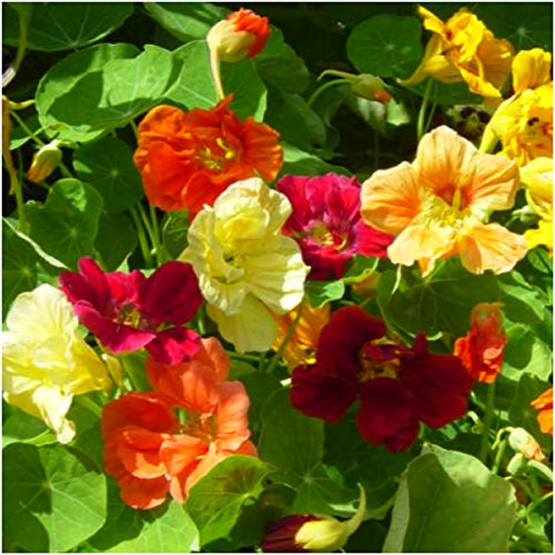 - Seed Needs Bulk Package of 350 Seeds, Jewel Mix Nasturtium (Tropaeolum nanum) Non-GMO Seeds