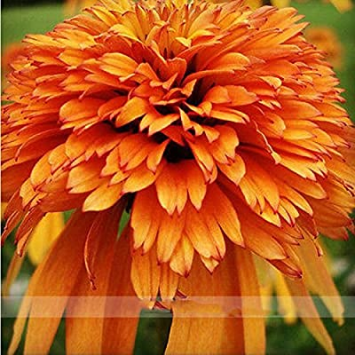 ADB Inc 200 Seeds Very Rare Orange Marmalade Echinacea Perennial Coneflower Seeds