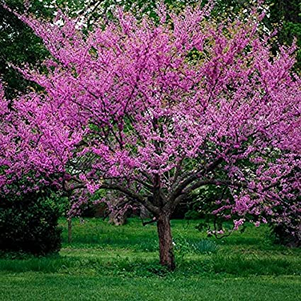Amazon Com Live Beautiful Eastern Redbud Early Spring Blooms 2