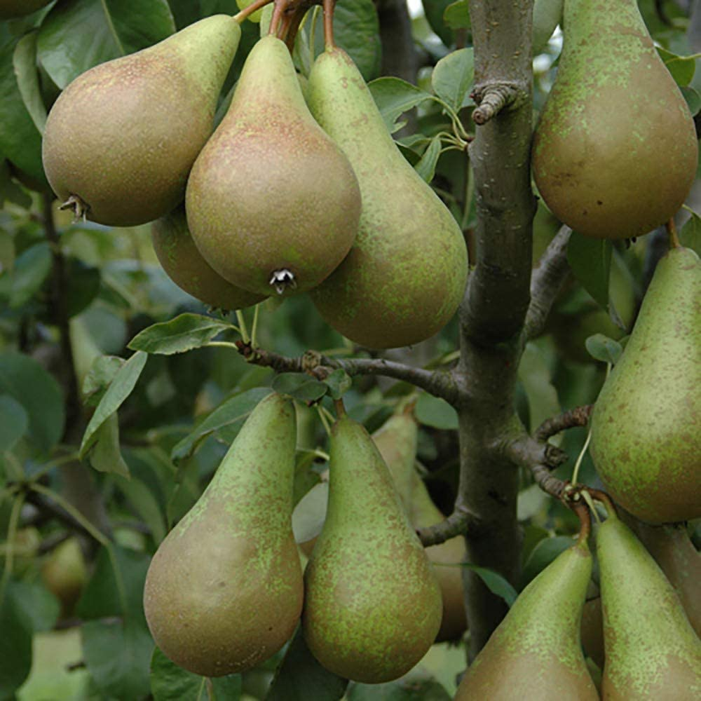 2m Two Conference Pear Trees To Plant Yourself Root Wrapped Free Postage UK