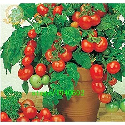 Mr.seeds Bonsai Tomato seeds Mini Cherry Potted Sweet Fruit Vegetable Organic Fresh 100PCS : Garden & Outdoor