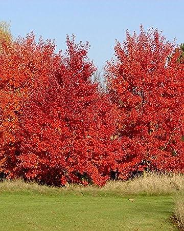 Amazoncom Acer Rubrum October Glory Red Maple Tree Seeds