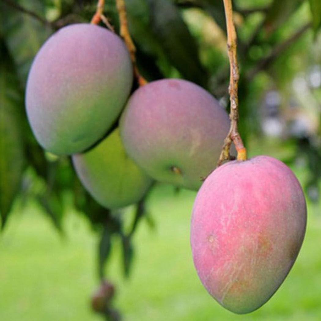 airrais 2pcs Mango Tree Seeds Home Garden Bonsai Fruits Plants Fruits
