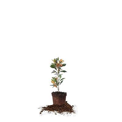 Perfect Plants Little Gem Magnolia Live Plant, 1-2', Includes Care Guide: Garden & Outdoor